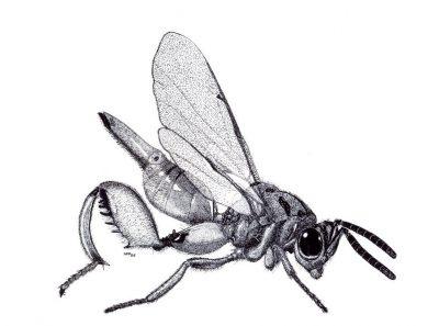 INVENTAIRE DES FOURMIS : trois articles au Bulletin de la Société entomologique de France