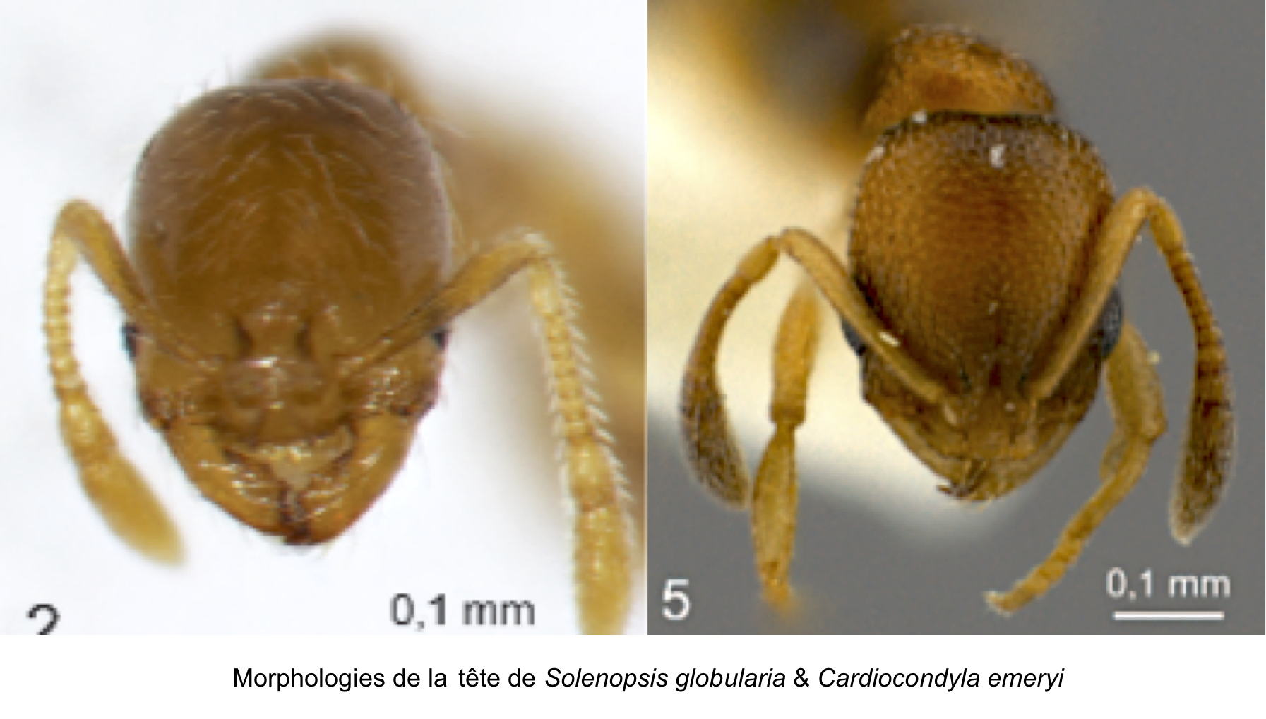 Solenopsis globularia & Cardiocondyla emeryi au Bulletin de la société entomologique de France